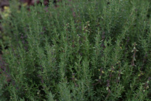 thyme- normal, lombardia